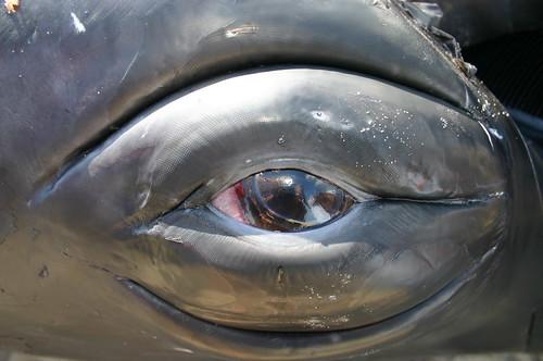 Humpback Whale Eye - Vlieland 2004 - Oog Bultrug