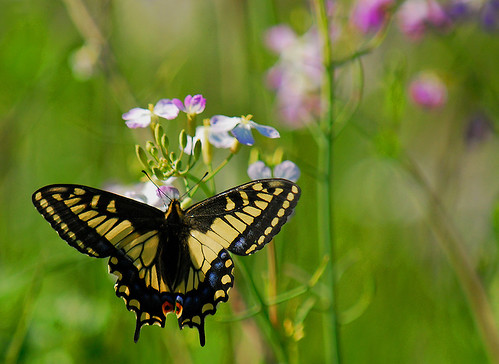 (Swallowtail) In the Spring Field