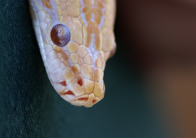 Albino Bull Snake | Flickr - Photo Sharing!