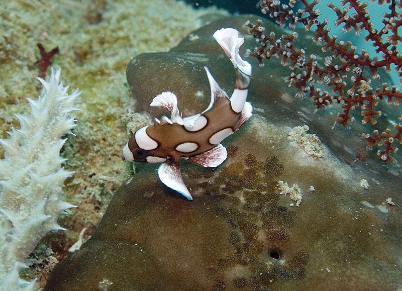 Juvenil de pez labios dulces