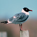 Laughing Gull - Photo (c) Jerry Oldenettel, some rights reserved (CC BY-NC-SA)