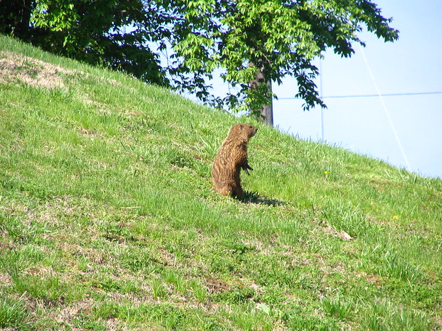 Urban Groundhog