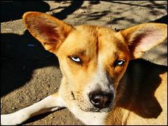 dog breed, animal, dog, carolina dog, pet, street dog, mammal,