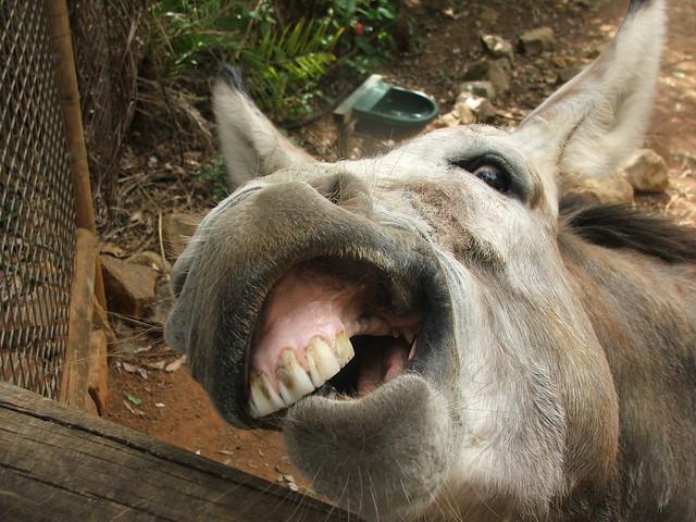 Ugly Donkey Teeth