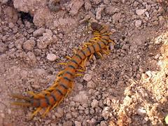 caterpillar(0.0), salamandridae(0.0), animal(1.0), soil(1.0), invertebrate(1.0), insect(1.0), fauna(1.0), centipede(1.0), wildlife(1.0),