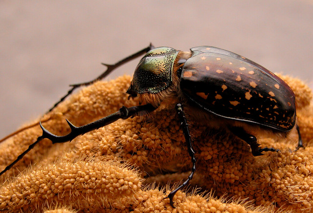 Flickr - Photo Sharing! Beetle