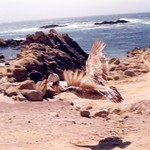 bird, near Bird Rock, Del Monte Forest / Pebble Beach, May 1999
