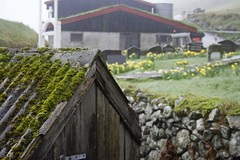 Mossy shed and daffodils