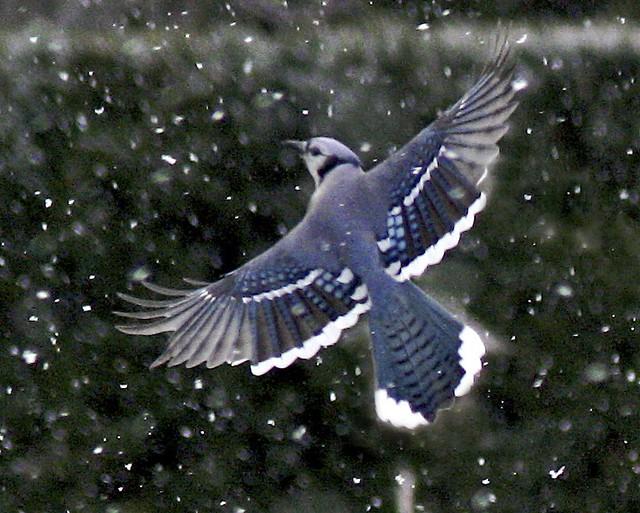 Blue Jay | Flickr - Photo Sharing!