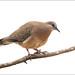 Spotted Turtle-dove by aaardvaark