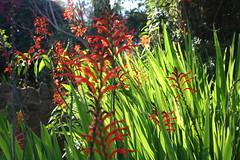 flower, plant, crocosmia 㗠crocosmiiflora, wildflower, flora, natural environment, meadow,