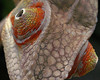 "<a href=""http://www.flickr.com/photos/twelvex/398427298/"">Photo of Furcifer pardalis by TwelveX</a>"