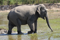 Elephant Leaving The Water