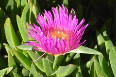 thistle(0.0), proteales(0.0), flower(1.0), plant(1.0), ice plant(1.0),