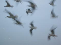 animal migration, animal, wing, white, fauna, flock, bird migration, bird, flight,