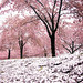 the pink hail of cherry blossom storms