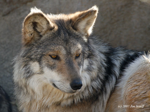 Mexican wolf (Canis lupus) by Jim Scarff