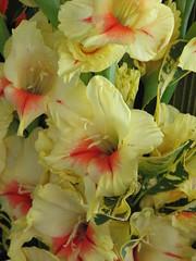 peruvian lily(0.0), flower(1.0), yellow(1.0), gladiolus(1.0), flora(1.0), floristry(1.0), petal(1.0),