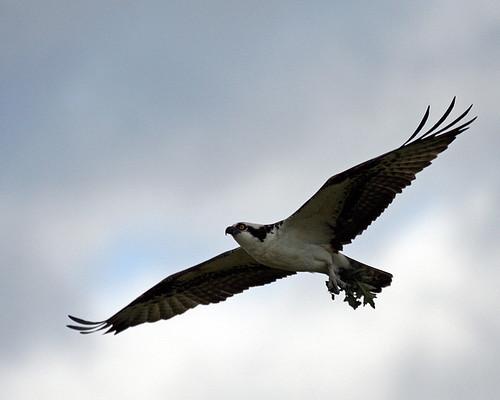 osprey shirleen experiencewa specanimal shillapoo