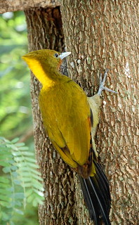 Greater Yellow Naped Woodpecker