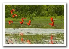 ibis escarlata / scarlet ibis