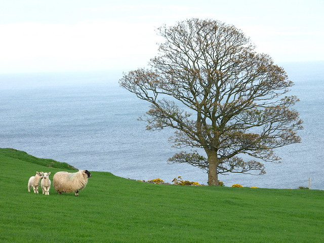 Ireland: green, blue... and sheep