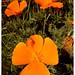 poppy by ISO50 / Tycho