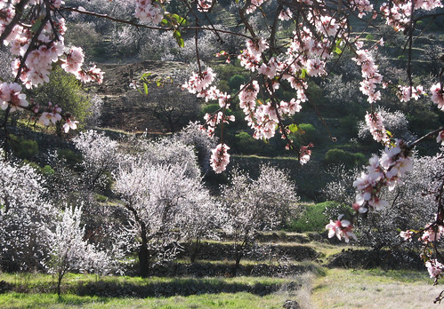 Blossoming almond trees on Tenerife