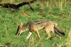 red wolf(0.0), animal(1.0), mammal(1.0), jackal(1.0), grey fox(1.0), fauna(1.0), kit fox(1.0), coyote(1.0), wildlife(1.0),
