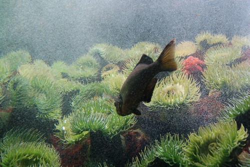 Greenies Ocean Fish