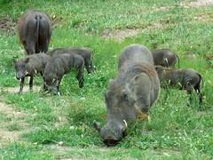 animal, wild boar, grazing, fauna, pig-like mammal, warthog, pasture, wildlife,