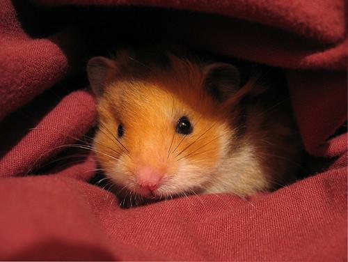 The hamster himself