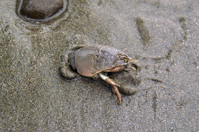 pacific mole crab - photo #7