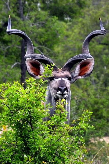 Big Kudu Bull