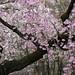 枝垂れ桜 by yocca