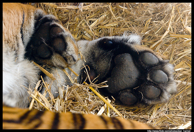 Tiger Paws Flickr Photo Sharing