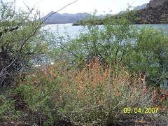 Poppies bloom at Saguaro Lake near Phoenix