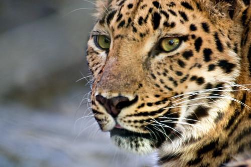 nature animals zoo leopard amurleopard centralfloridazoo naturesfinest sigma70300mmapodgmacro animalkingdomelite pentaxk10d
