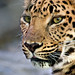 portrait of an amur leopard by MorningThief581