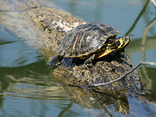 Tartaruga di lago agliana pt italy parco for Lago per tartarughe
