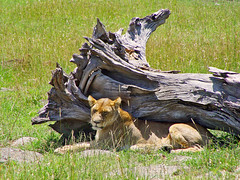 Lioness and dead tree