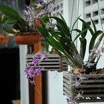 Hanging Orchids - Kho Pha Ngan, Thailand