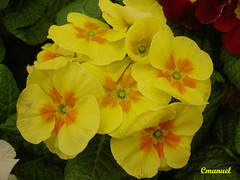 pansy(0.0), annual plant(1.0), flower(1.0), large-flowered evening primrose (1.0), yellow(1.0), plant(1.0), herbaceous plant(1.0), petal(1.0),