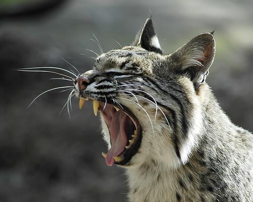 Bobcat - 無料写真検索fotoq