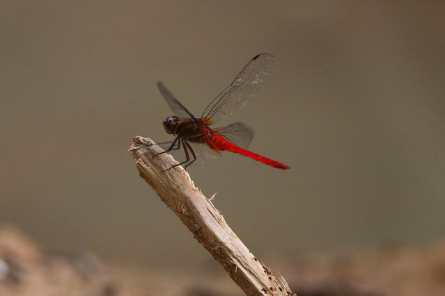 125Y5102 400 4 800 jpg   Dragonfly landing sequence 3 of 4 A…   Flickr