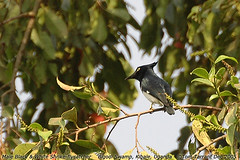 Black-and-white Shrike-flycatcher (Bias musicus)