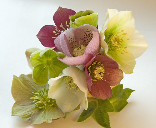 A Selection of my Hellebores