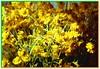 wild daisywheels