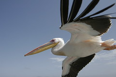 ciconiiformes(0.0), animal(1.0), pelican(1.0), wing(1.0), fauna(1.0), white stork(1.0), beak(1.0), bird(1.0),