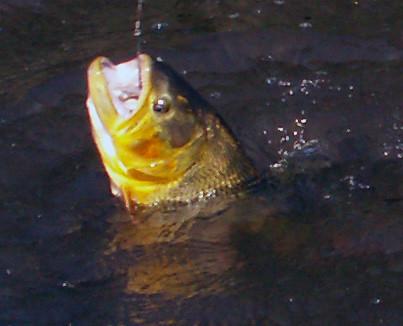 Fish big fish so just how tough are dorado for Fish store reno